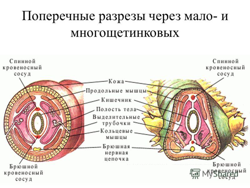 (С) Шулепова Т.В., 2009 Поперечные разрезы через мало- и многощетинковых
