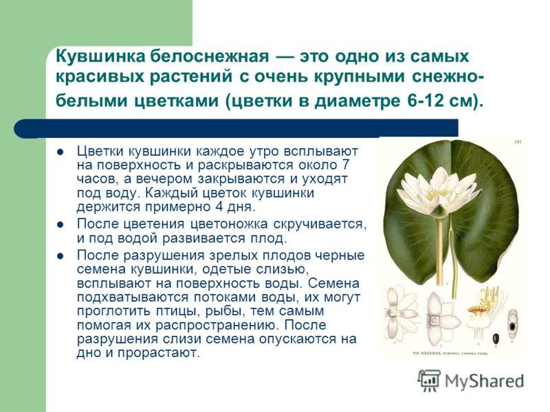 Кувшинка белоснежная это одно из самых красивых растений с очень крупными снежно- белыми цветками (цветки в диаметре 6-12 см). Цветки кувшинки каждое утро всплывают на поверхность и раскрываются около 7 часов, а вечером закрываются и уходят под воду.