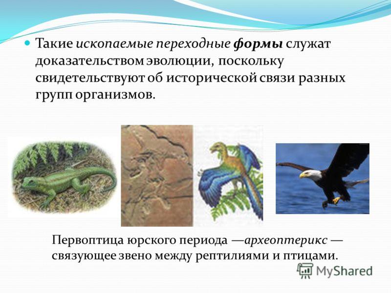 Такие ископаемые переходные формы служат доказательством эволюции, поскольку свидетельствуют об исторической связи разных групп организмов. Первоптица юрского периода археоптерикс связующее звено между рептилиями и птицами.