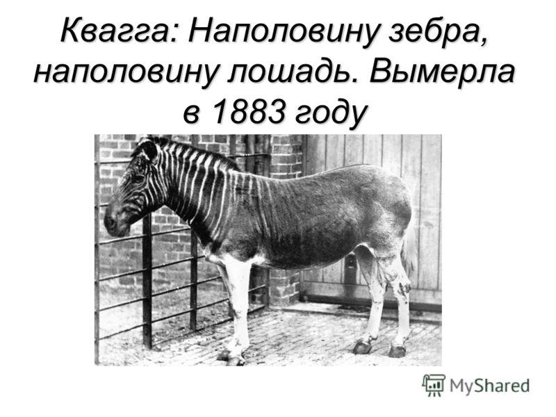Квагга: Наполовину зебра, наполовину лошадь. Вымерла в 1883 году