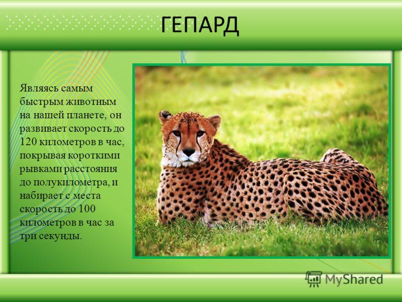 ГЕПАРД Являясь самым быстрым животным на нашей планете, он развивает скорость до 120 километров в час, покрывая короткими рывками расстояния до полукилометра, и набирает с места скорость до 100 километров в час за три секунды.