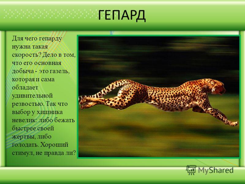 ГЕПАРД Для чего гепарду нужна такая скорость? Дело в том, что его основная добыча - это газель, которая и сама обладает удивительной резвостью. Так что выбор у хищника невелик: либо бежать быстрее своей жертвы, либо голодать. Хороший стимул, не правд