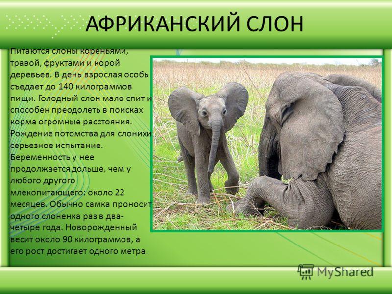 АФРИКАНСКИЙ СЛОН Питаются слоны кореньями, травой, фруктами и корой деревьев. В день взрослая особь съедает до 140 килограммов пищи. Голодный слон мало спит и способен преодолеть в поисках корма огромные расстояния. Рождение потомства для слонихи сер