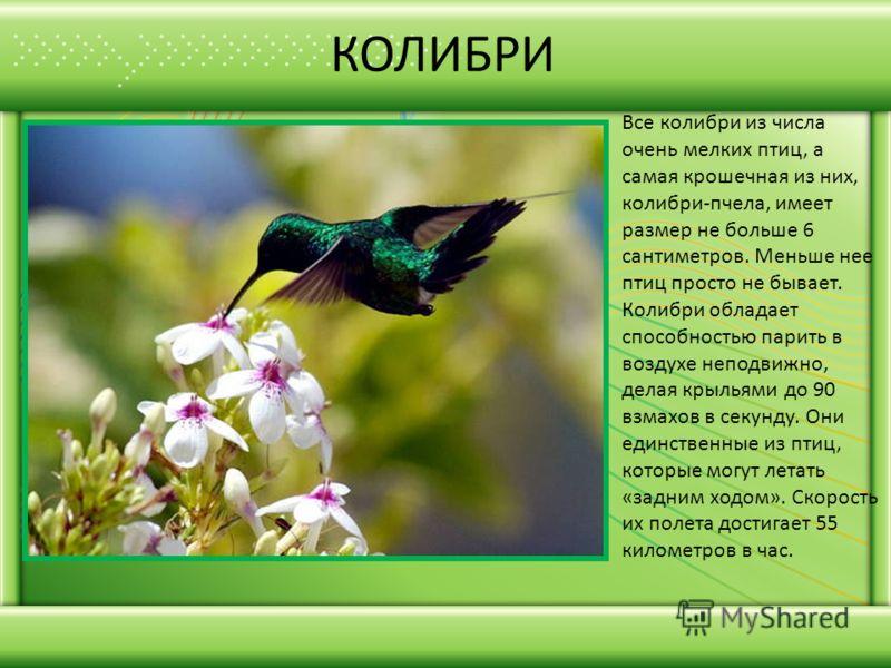 КОЛИБРИ Все колибри из числа очень мелких птиц, а самая крошечная из них, колибри-пчела, имеет размер не больше 6 сантиметров. Меньше нее птиц просто не бывает. Колибри обладает способностью парить в воздухе неподвижно, делая крыльями до 90 взмахов в