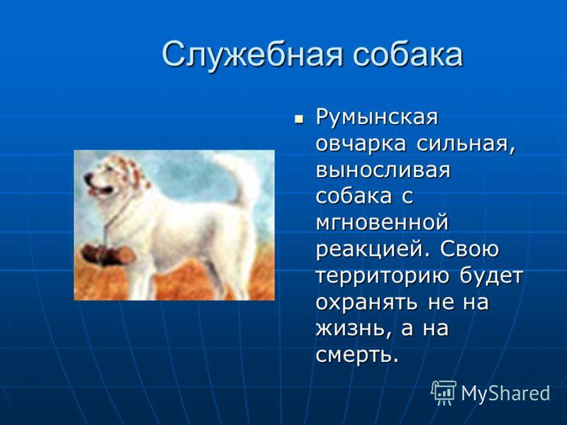 Служебная собака Румынская овчарка сильная, выносливая собака с мгновенной реакцией. Свою территорию будет охранять не на жизнь, а на смерть. Румынская овчарка сильная, выносливая собака с мгновенной реакцией. Свою территорию будет охранять не на жиз