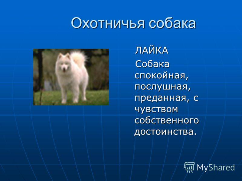 Охотничья собака ЛАЙКА ЛАЙКА Собака спокойная, послушная, преданная, с чувством собственного достоинства. Собака спокойная, послушная, преданная, с чувством собственного достоинства.