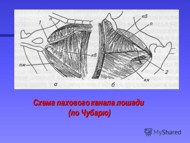 Схема пахового канала лошади (по Чубарю) (по Чубарю)