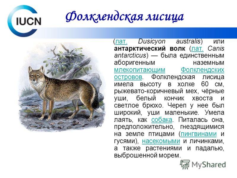 (лат. Dusicyon australis) или антарктический волк (лат. Canis antarcticus) была единственным аборигенным наземным млекопитающим Фолклендских островов. Фолклендская лисица имела высоту в холке 60 см, рыжевато-коричневый мех, чёрные уши, белый кончик х