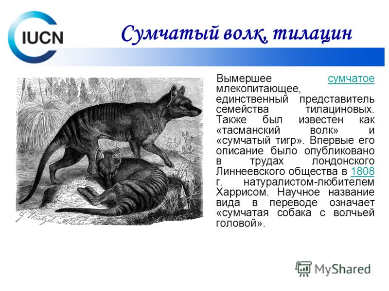 Вымершее сумчатое млекопитающее, единственный представитель семейства тилациновых. Также был известен как «тасманский волк» и «сумчатый тигр». Впервые его описание было опубликовано в трудах лондонского Линнеевского общества в 1808 г. натуралистом-лю