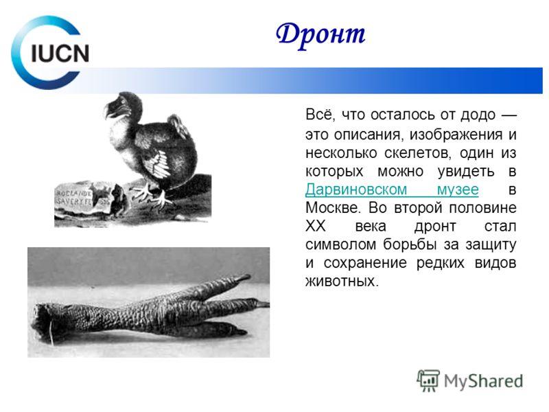 Всё, что осталось от додо это описания, изображения и несколько скелетов, один из которых можно увидеть в Дарвиновском музее в Москве. Во второй половине XX века дронт стал символом борьбы за защиту и сохранение редких видов животных. Дарвиновском му
