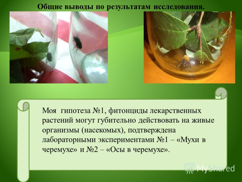 Моя гипотеза 1, фитонциды лекарственных растений могут губительно действовать на живые организмы (насекомых), подтверждена лабораторными экспериментами 1 – «Мухи в черемухе» и 2 – «Осы в черемухе». Общие выводы по результатам исследования.