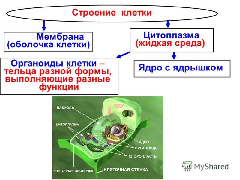 Строение клетки Ядро с ядрышком Цитоплазма (жидкая среда) Мембрана (оболочка клетки) Органоиды клетки – тельца разной формы, выполняющие разные функции