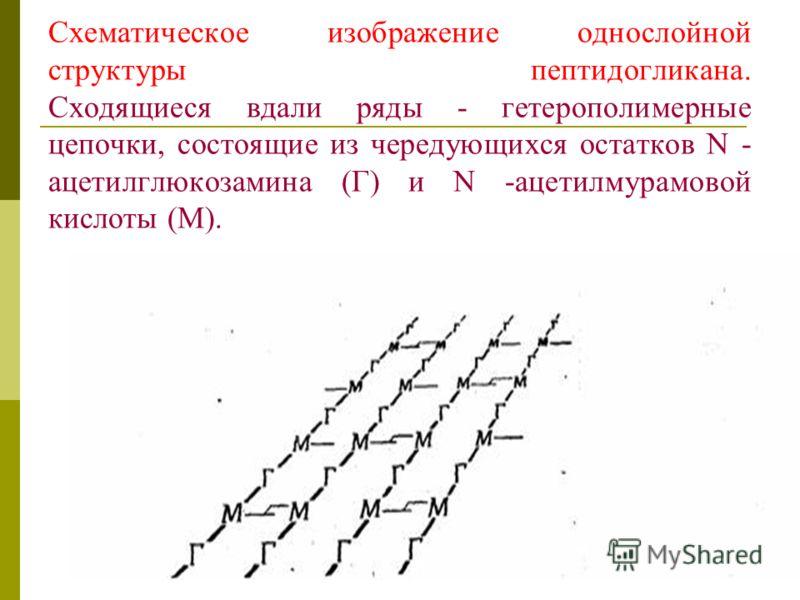 Схематическое изображение однослойной структуры пептидогликана. Сходящиеся вдали ряды - гетерополимерные цепочки, состоящие из чередующихся остатков N - ацетилглюкозамина (Г) и N -ацетилмурамовой кислоты (М).