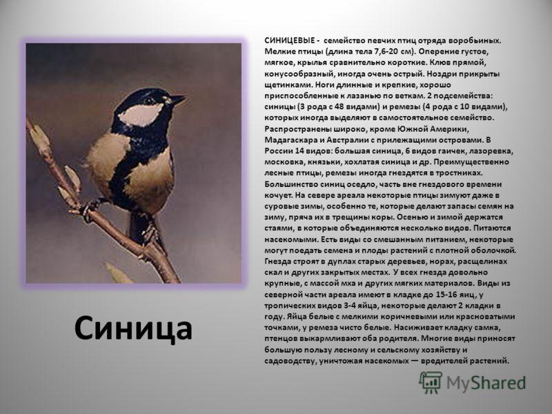Синица СИНИЦЕВЫЕ - семейство певчих птиц отряда воробьиных. Мелкие птицы (длина тела 7,6-20 см). Оперение густое, мягкое, крылья сравнительно короткие. Клюв прямой, конусообразный, иногда очень острый. Ноздри прикрыты щетинками. Ноги длинные и крепки