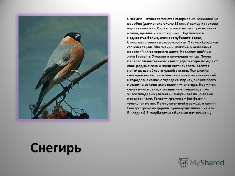 Снегирь СНЕГИРЬ - птица семейства вьюрковых. Величиной с воробья (длина тела около 18 см). У самца на голове черная шапочка. Верх головы и кольцо у основания клюва, крылья и хвост черные. Подхвостье и надхвостье белые, спина голубовато-серая, брюшная