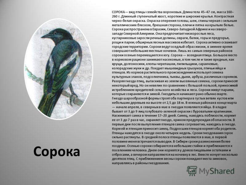 СОРОКА вид птицы семейства вороновых. Длина тела 45–47 см, масса 160– 260 г. Длинный ступенчатый хвост, короткие и широкие крылья. Контрастная черно-белая окраска. Окраска оперения головы, шеи, спины черная с сильным металлическим блеском, брюшная ст