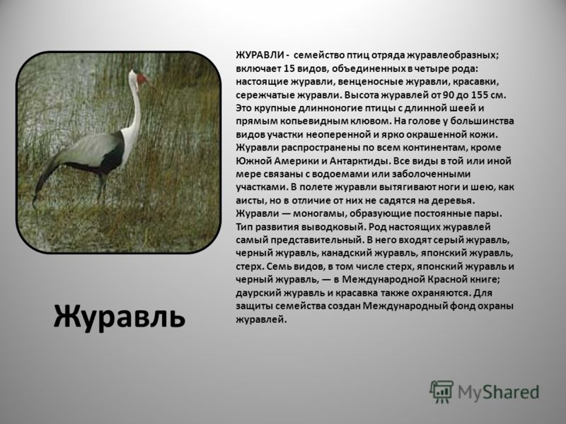 ЖУРАВЛИ - семейство птиц отряда журавлеобразных; включает 15 видов, объединенных в четыре рода: настоящие журавли, венценосные журавли, красавки, сережчатые журавли. Высота журавлей от 90 до 155 см. Это крупные длинноногие птицы с длинной шеей и прям