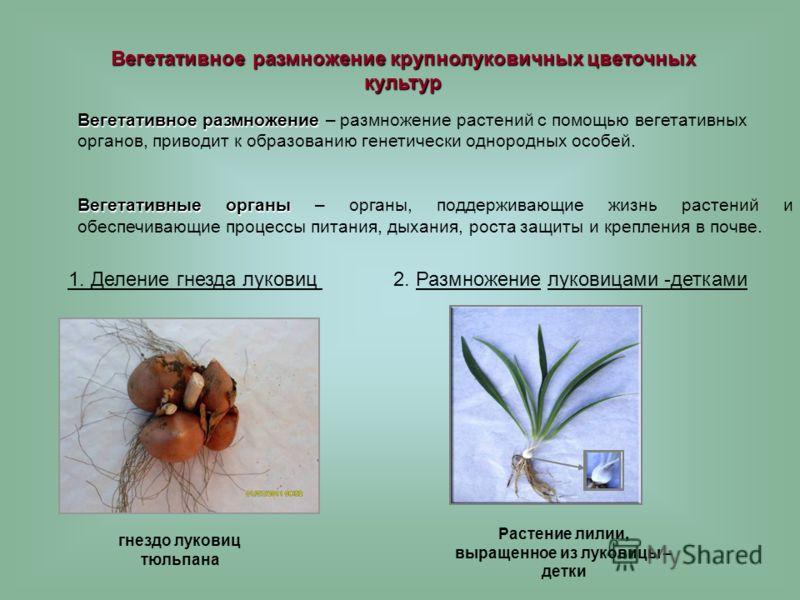 1. Деление гнезда луковиц Вегетативное размножение крупнолуковичных цветочных культур гнездо луковиц тюльпана Вегетативное размножение Вегетативное размножение – размножение растений с помощью вегетативных органов, приводит к образованию генетически