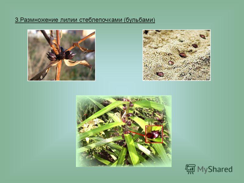 3.Размножение лилии стеблепочками (бульбами)