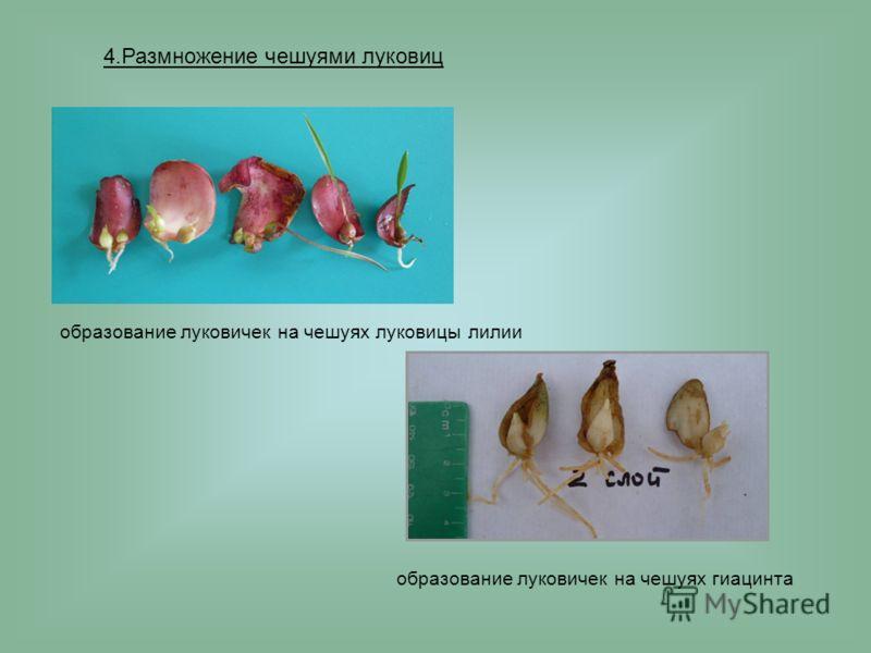4.Размножение чешуями луковиц образование луковичек на чешуях луковицы лилии образование луковичек на чешуях гиацинта