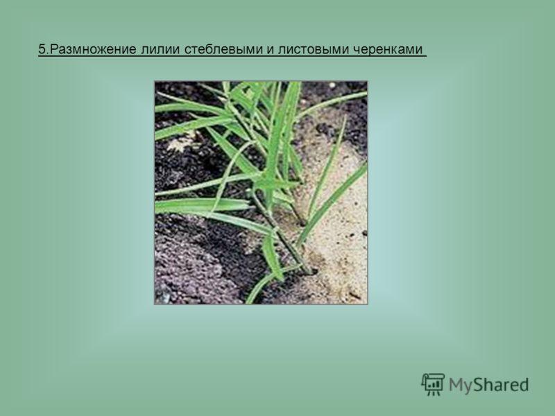 5.Размножение лилии стеблевыми и листовыми черенками