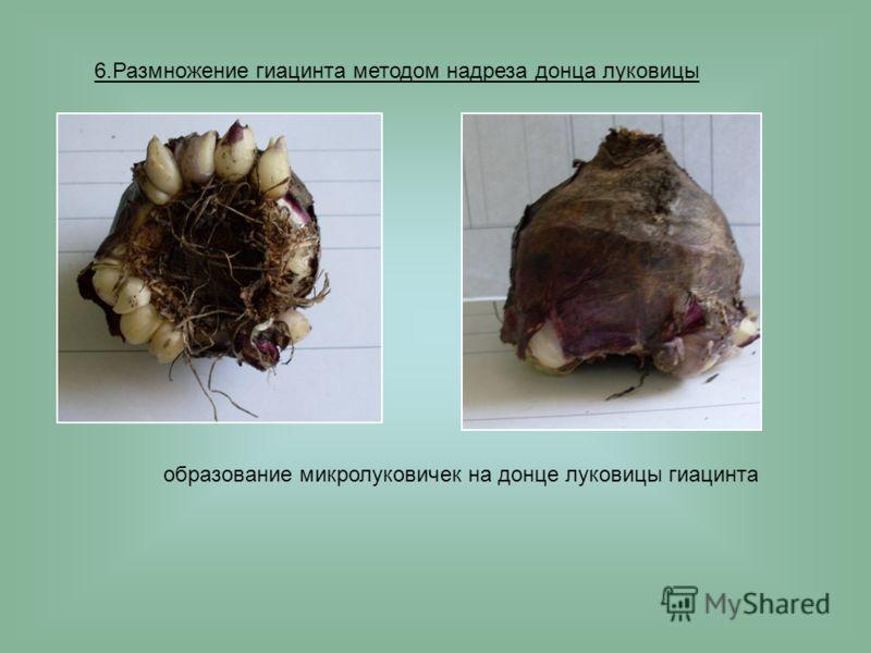 6.Размножение гиацинта методом надреза донца луковицы образование микролуковичек на донце луковицы гиацинта