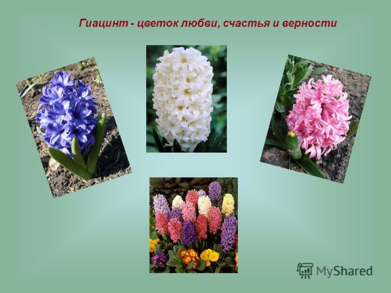 Гиацинт - цветок любви, счастья и верности