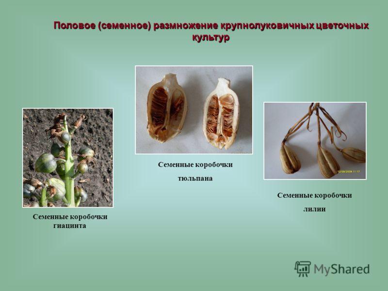 Половое (семенное) размножение крупнолуковичных цветочных культур Семенные коробочки гиацинта Семенные коробочки тюльпана Семенные коробочки лилии