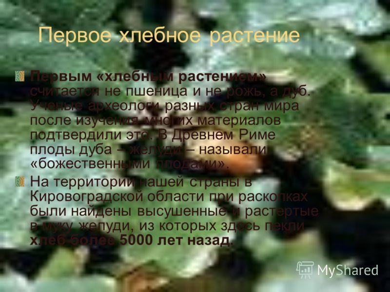 Первое хлебное растение Первым «хлебным растением» считается не пшеница и не рожь, а дуб. Ученые археологи разных стран мира после изучения многих материалов подтвердили это. В Древнем Риме плоды дуба – желуди – называли «божественными плодами». На т