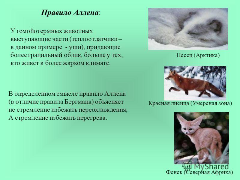 Правило Аллена: У гомойотермных животных выступающие части (теплоотдатчики – в данном примере - уши), придающие более грацильный облик, больше у тех, кто живет в более жарком климате. Песец (Арктика) Красная лисица (Умереная зона) Фенек (Северная Афр