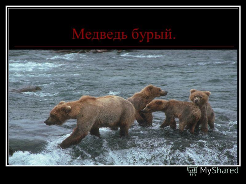 Медведь бурый.