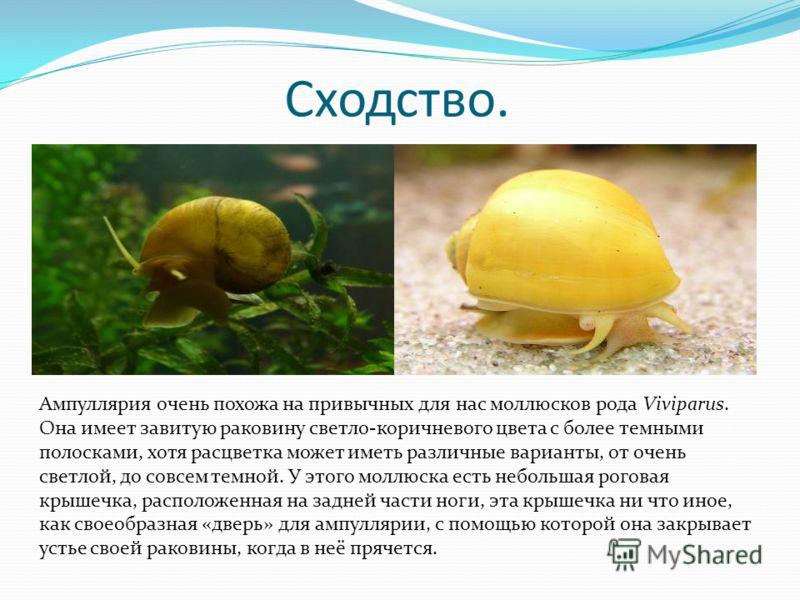 Сходство. Ампуллярия очень похожа на привычных для нас моллюсков рода Viviparus. Она имеет завитую раковину светло-коричневого цвета с более темными полосками, хотя расцветка может иметь различные варианты, от очень светлой, до совсем темной. У этого