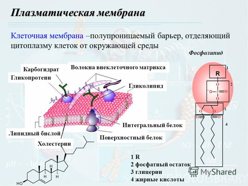 Клеточная мембрана –полупроницаемый барьер, отделяющий цитоплазму клеток от окружающей среды Плазматическая мембрана Липидный бислой Холестерин Поверхностный белок Интегральный белок Гликолипид Волокна внеклеточного матрикса Карбогидрат Гликопротеин