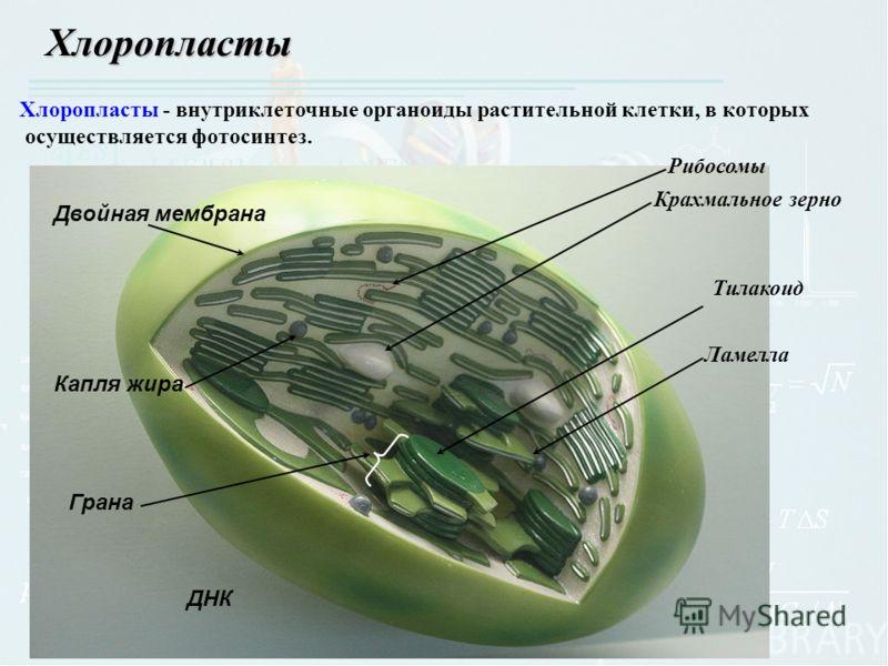 Хлоропласты Рибосомы Крахмальное зерно Тилакоид Ламелла Грана Капля жира ДНК Двойная мембрана Хлоропласты - внутриклеточные органоиды растительной клетки, в которых осуществляется фотосинтез.
