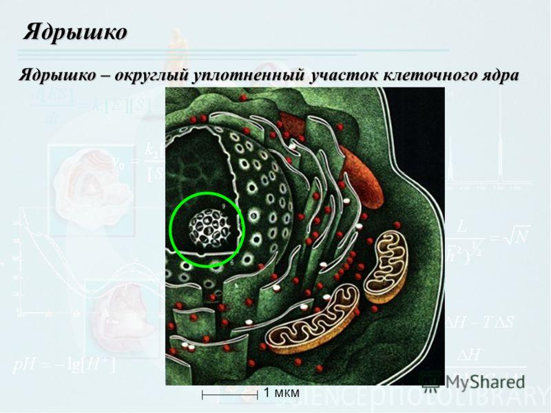 Ядрышко Ядрышко – округлый уплотненный участок клеточного ядра 1 мкм