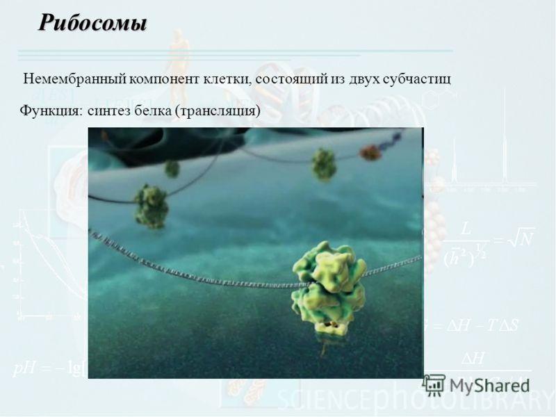 Рибосомы Немембранный компонент клетки, состоящий из двух субчастиц Функция: синтез белка (трансляция)