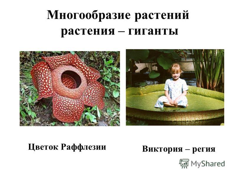 Цветок Раффлезии Виктория – регия