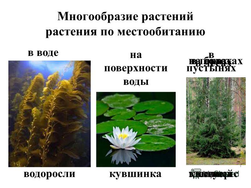Многообразие растений растения по местообитанию в воде водоросли на поверхности воды кувшинка в пустынях кактусы на болотах мхи в горах эдельвейс на лугах клевер в лесах ель