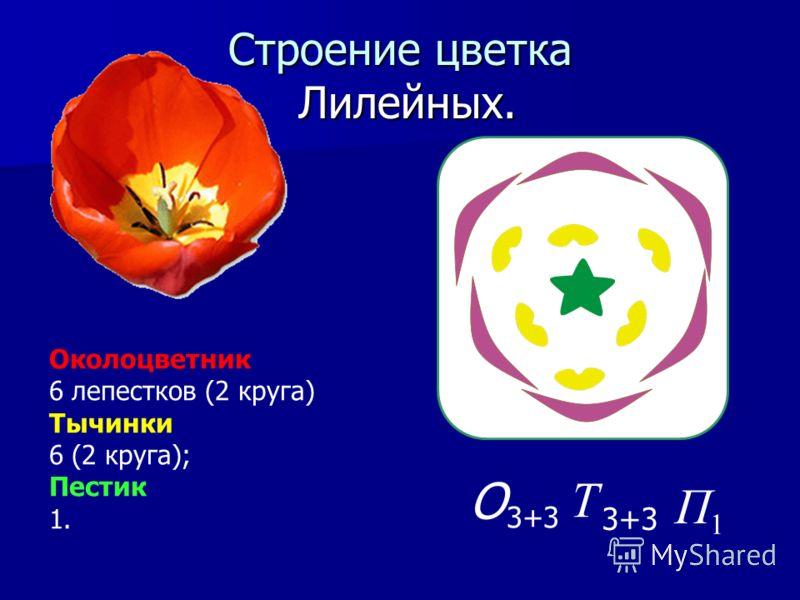 Строение цветка Лилейных. Околоцветник 6 лепестков (2 круга) Тычинки 6 (2 круга); Пестик 1. 1 П 3+3 Т О