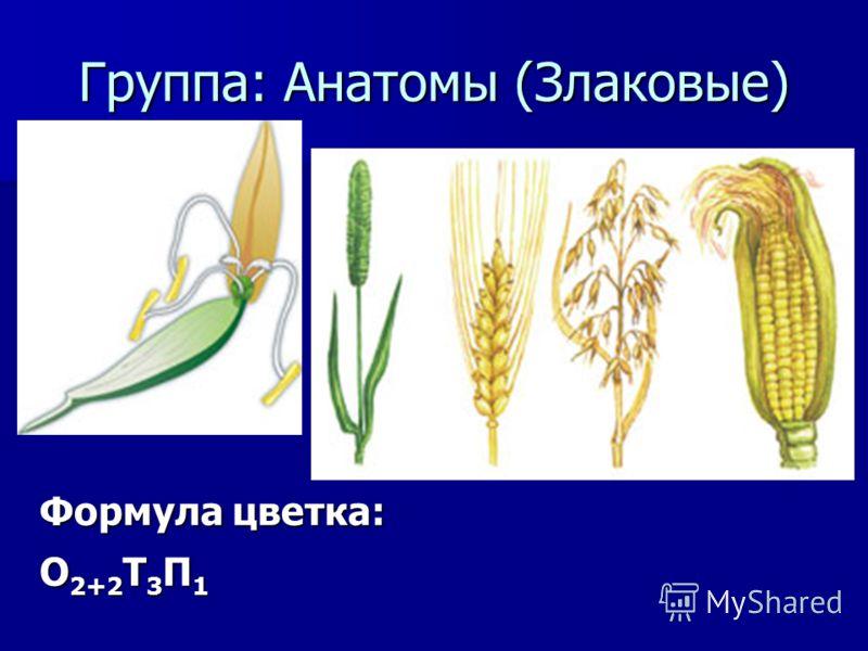 Группа: Анатомы (Злаковые) Формула цветка: О 2+2 Т 3 П 1