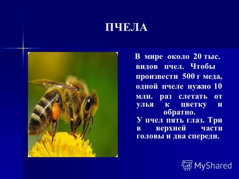 ПЧЕЛА В мире около 20 тыс. видов пчел. Чтобы произвести 500 г меда, одной пчеле нужно 10 млн. раз слетать от улья к цветку и обратно. У пчел пять глаз. Три в верхней части головы и два спереди.
