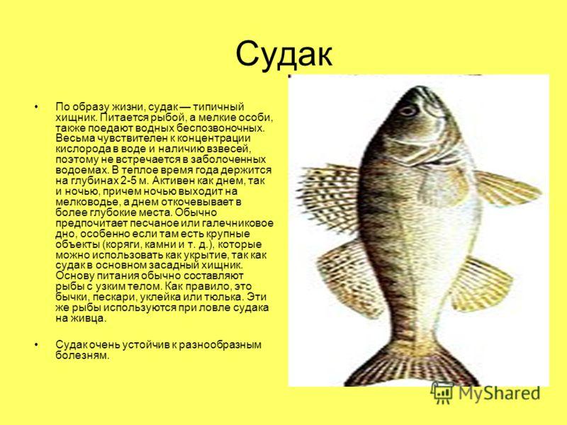 Судак По образу жизни, судак типичный хищник. Питается рыбой, а мелкие особи, также поедают водных беспозвоночных. Весьма чувствителен к концентрации кислорода в воде и наличию взвесей, поэтому не встречается в заболоченных водоемах. В теплое время г
