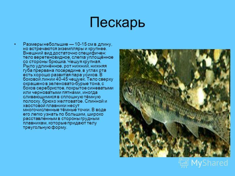 Пескарь Размеры небольшие 10-15 см в длину, но встречаются экземпляры и крупнее. Внешний вид достаточно специфичен: тело веретеновидное, слегка уплощённое со стороны брюшка. Чешуя крупная. Рыло удлинённое, рот нижний, нижняя губа прервана посередине,