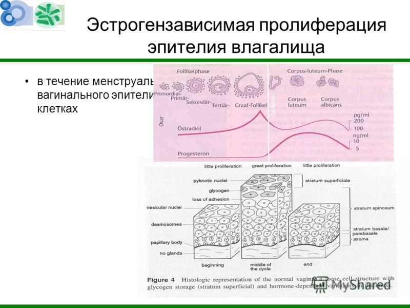 Эстрогензависимая пролиферация эпителия влагалища в течение менструального цикла изменяется толщина вагинального эпителия и содержание гликогена в слущенных клетках