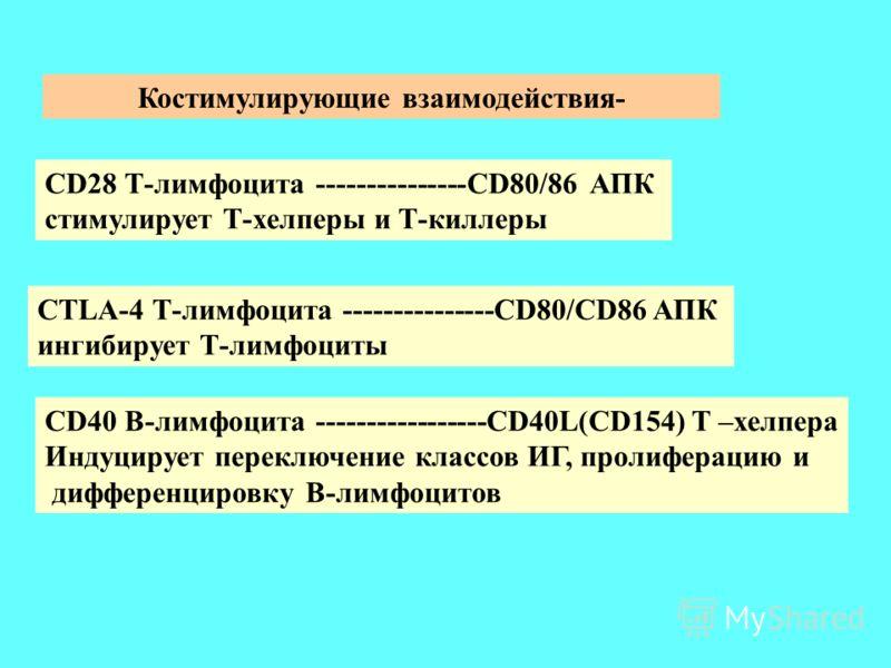 Костимулирующие взаимодействия- CD28 Т-лимфоцита ---------------CD80/86 АПК стимулирует Т-хелперы и Т-киллеры CTLA-4 Т-лимфоцита ---------------CD80/CD86 АПК ингибирует Т-лимфоциты CD40 В-лимфоцита -----------------CD40L(CD154) Т –хелпера Индуцирует