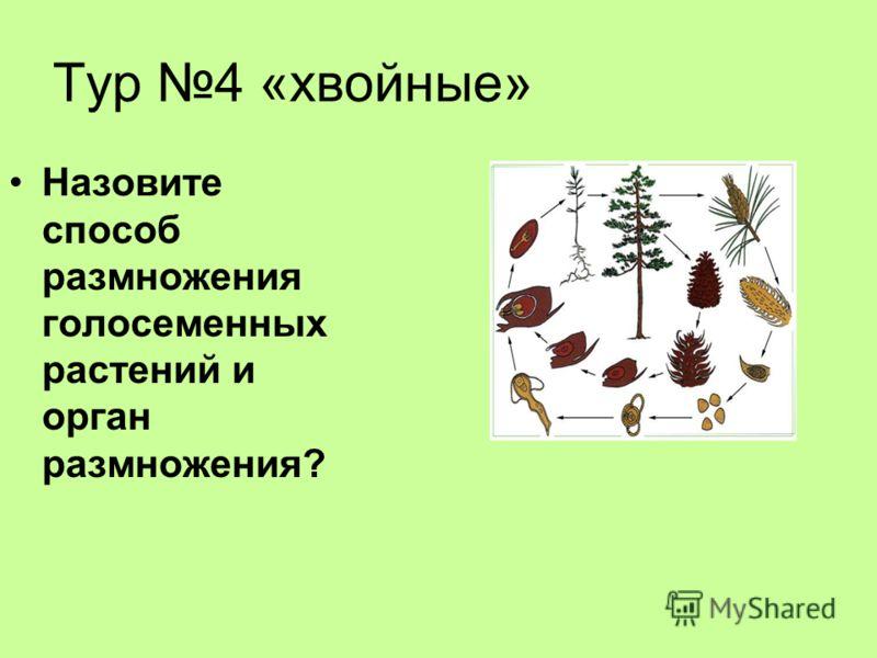 Тур 4 «хвойные» Назовите способ размножения голосеменных растений и орган размножения?