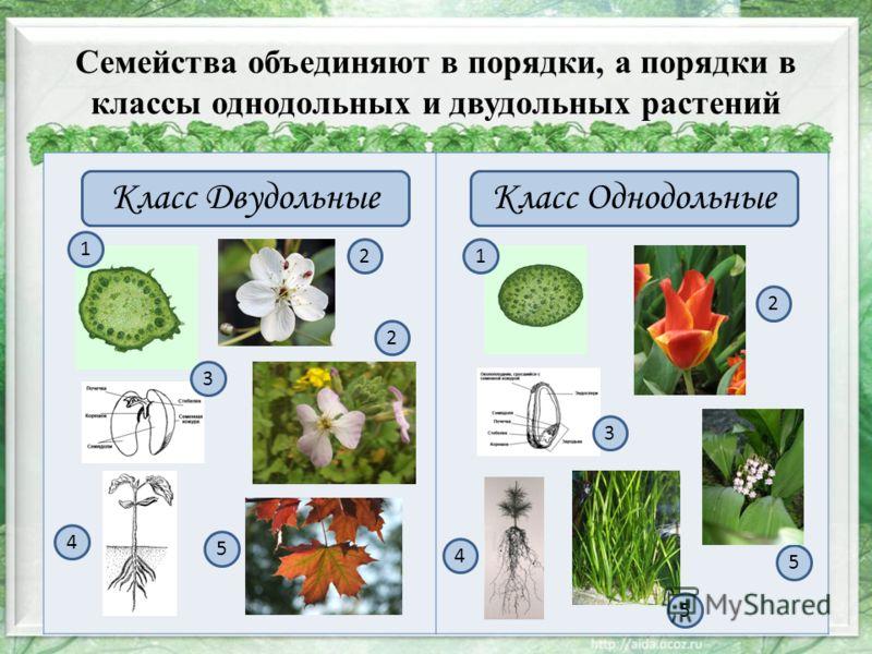 Семейства объединяют в порядки, а порядки в классы однодольных и двудольных растений Класс ДвудольныеКласс Однодольные 1 5 4 3 21 4 5 3 2 2 5