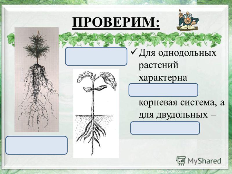 ПРОВЕРИМ: Для однодольных растений характерна мочковатая корневая система, а для двудольных – стержневая. Стержневая корневая система Мочковатая корневая система