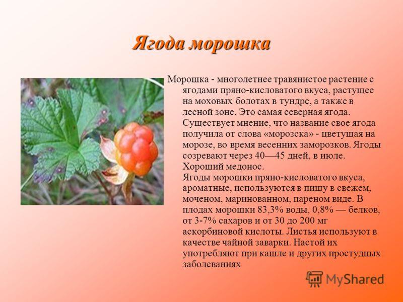 Ягода морошка Морошка - многолетнее травянистое растение с ягодами пряно-кисловатого вкуса, растущее на моховых болотах в тундре, а также в лесной зоне. Это самая северная ягода. Существует мнение, что название свое ягода получила от слова «морозска»