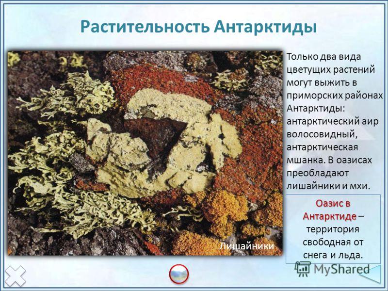 Только два вида цветущих растений могут выжить в приморских районах Антарктиды: антарктический аир волосовидный, антарктическая мшанка. В оазисах преобладают лишайники и мхи. Растительность Антарктиды ОазисМхи и лишайники Колобантус Луговик Лишайники
